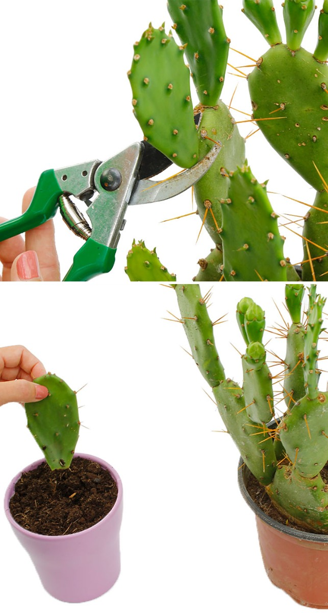 Beliebt Bevorzugt Kaktus Pflege - 123zimmerpflanzen #OH_88