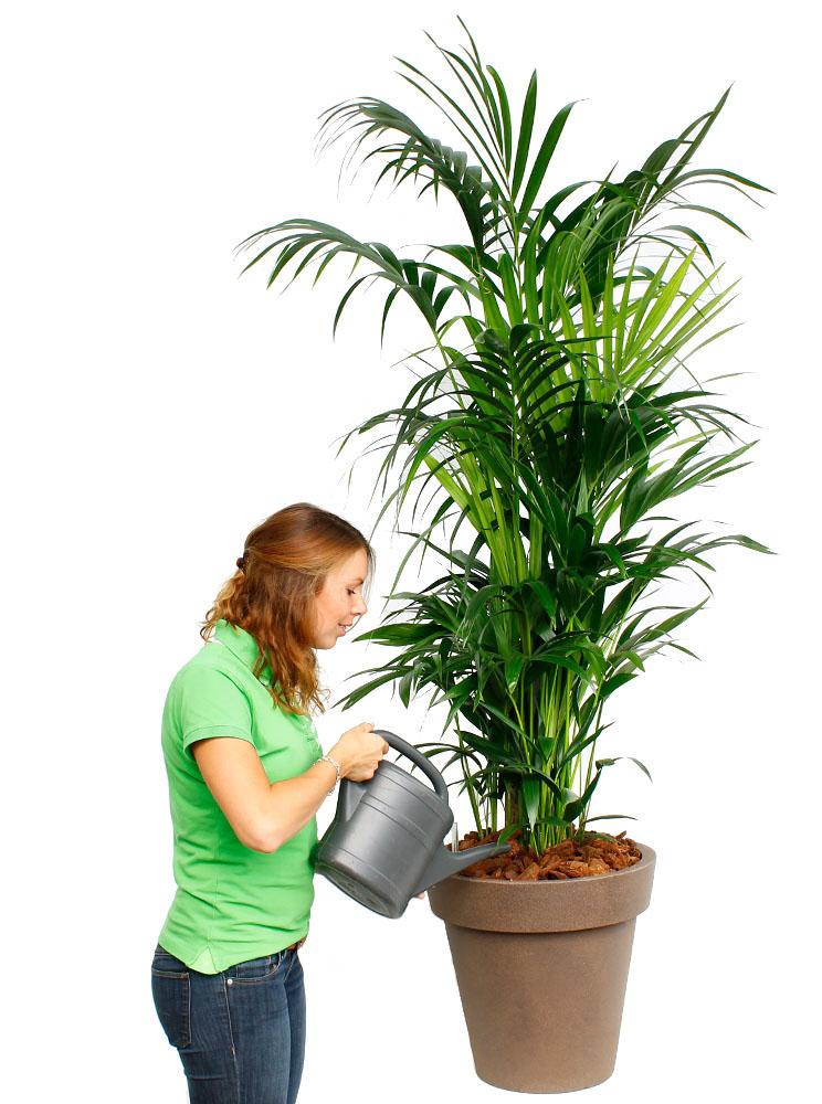 Kentia Palme (Howea forsteriana) Pflege - 123zimmerpflanzen