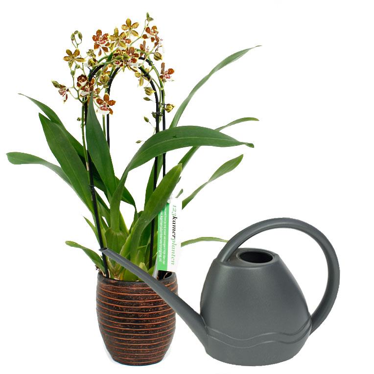 Orchidee Pflege 123zimmerpflanzen