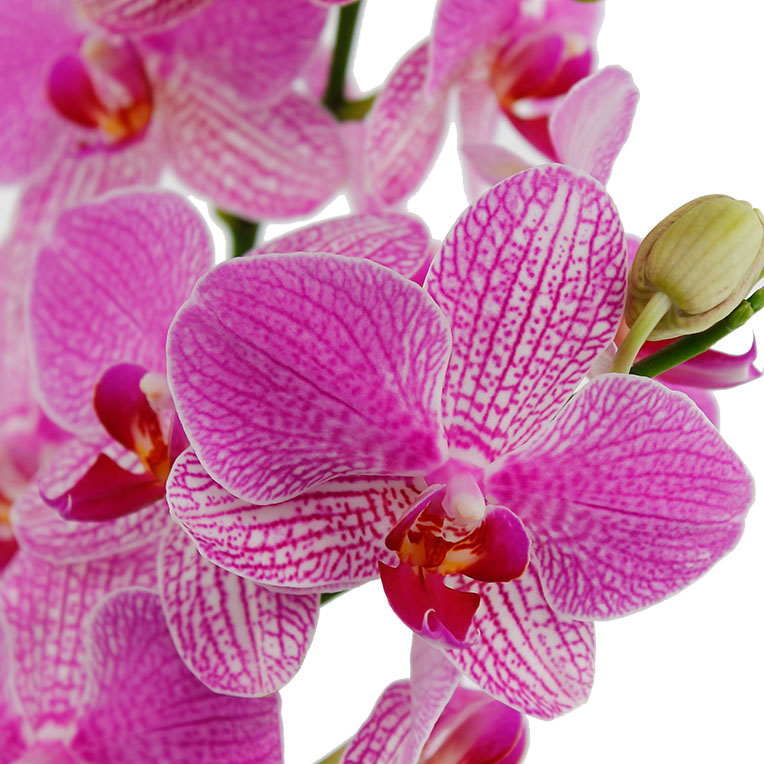 Orchidee Pflege