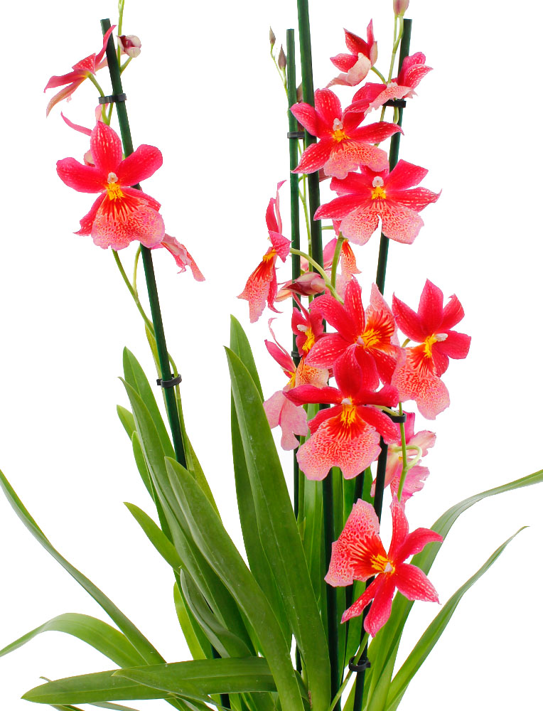 Orchidee Wartung