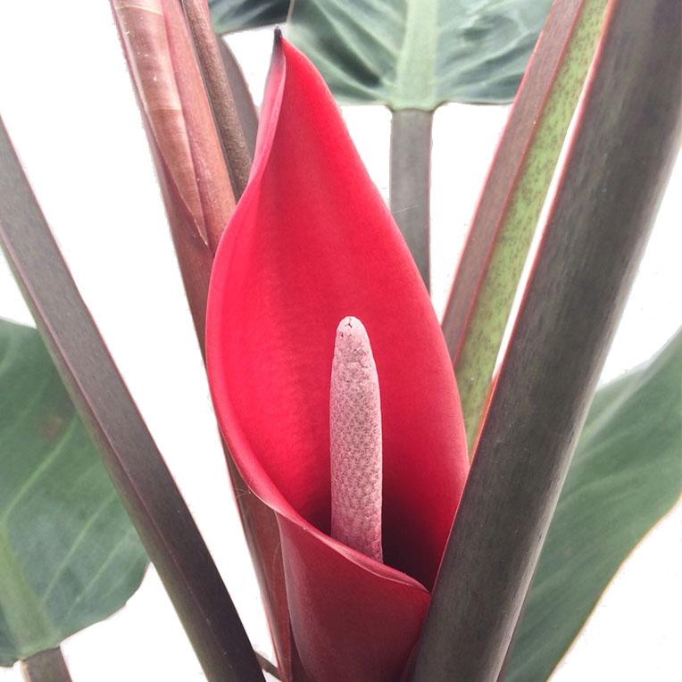 Blühende Philodendron