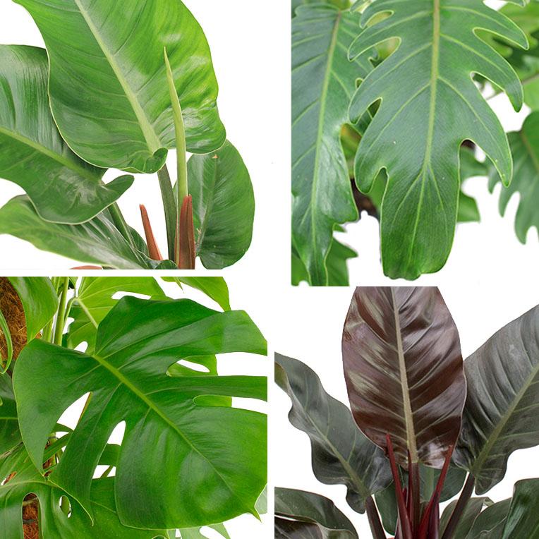 Düngen für Philodendron