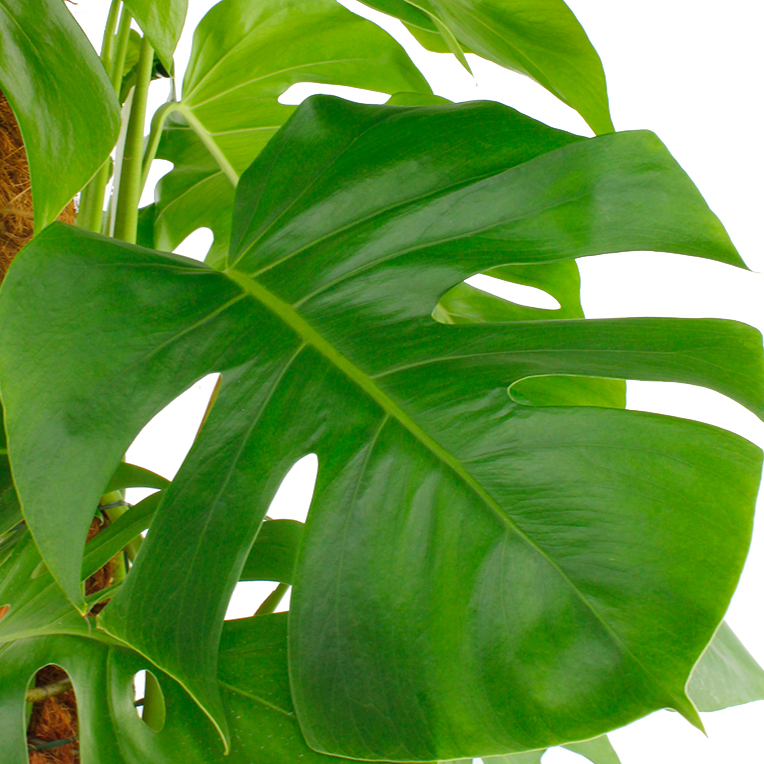 Philodendron Pflege