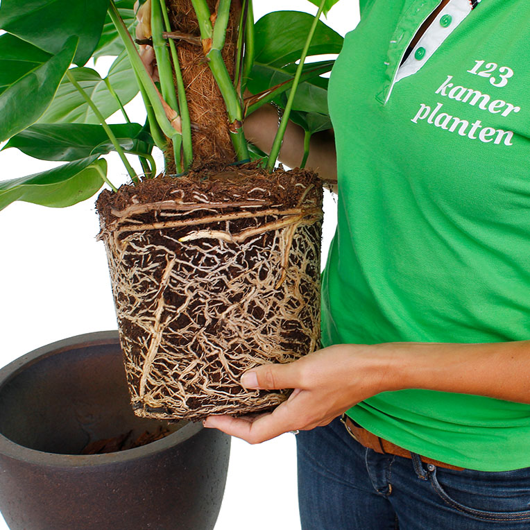 Philodendron Umtopfen
