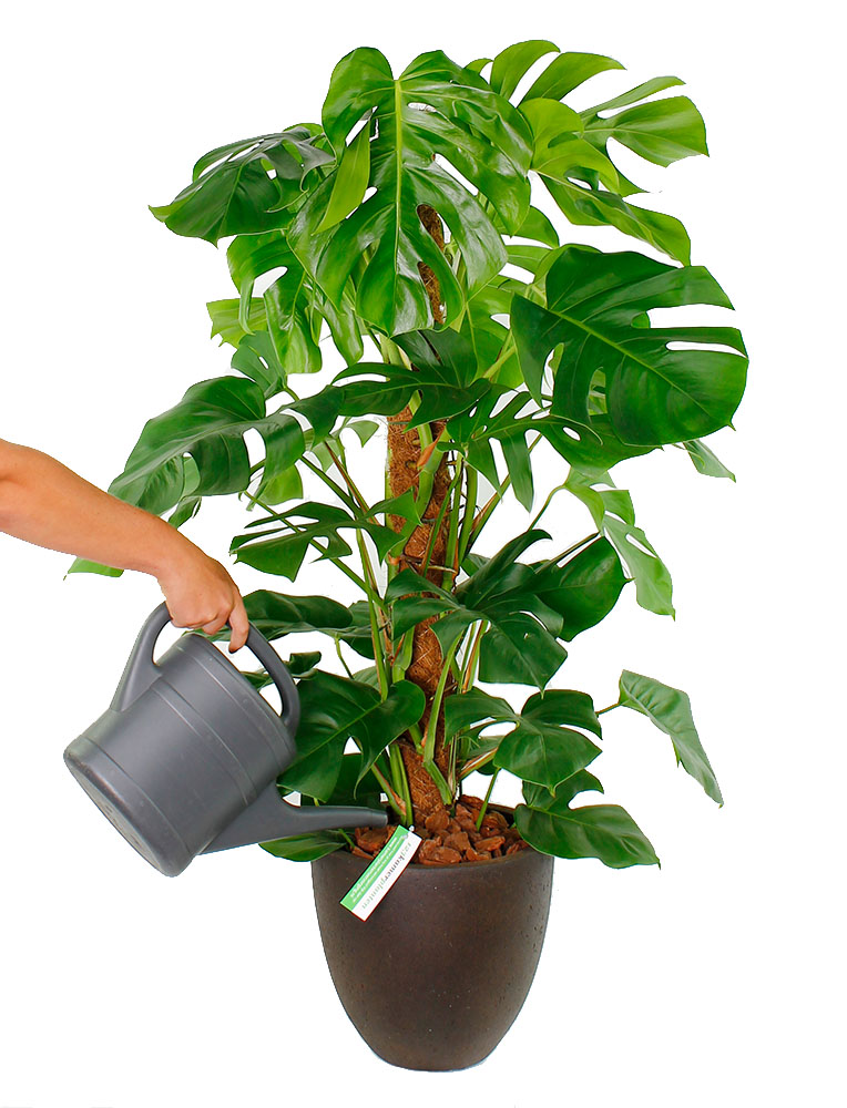 Philodendron Gießen