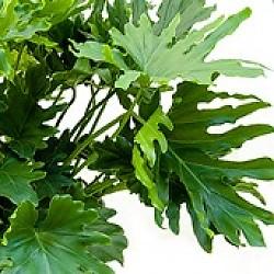 Philodendron baumfreund pflege - Bambus pflege zimmerpflanze ...