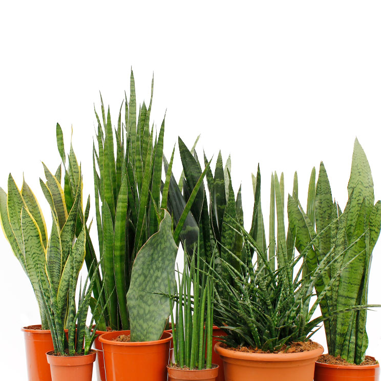 Sansevieria Bogenhanf Pflege 123zimmerpflanzen