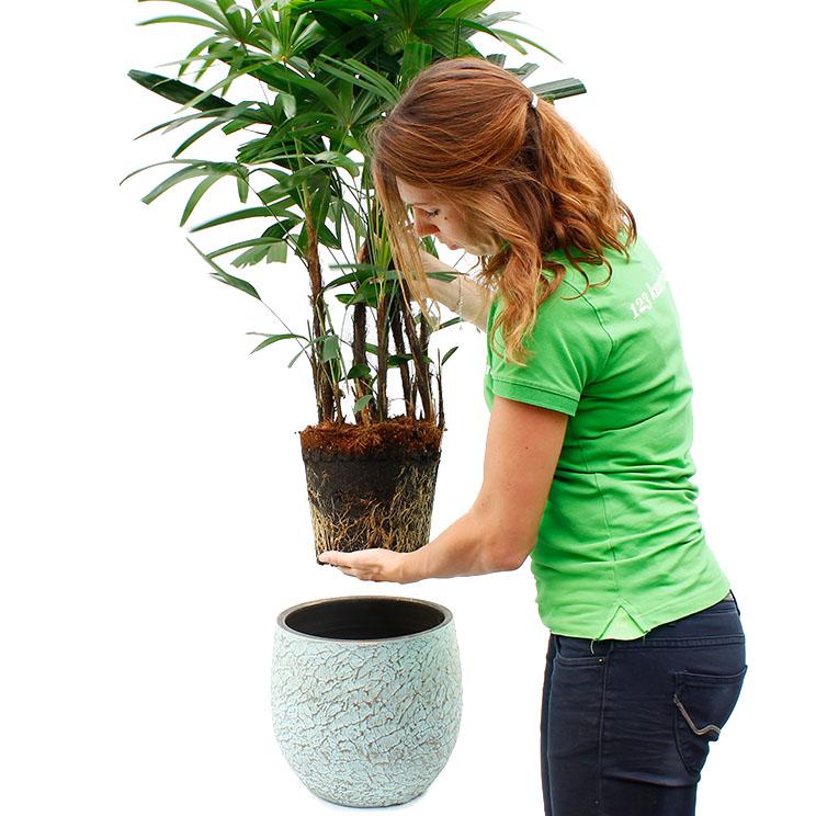 Rhapis Steckenpalme Pflege 123zimmerpflanzen