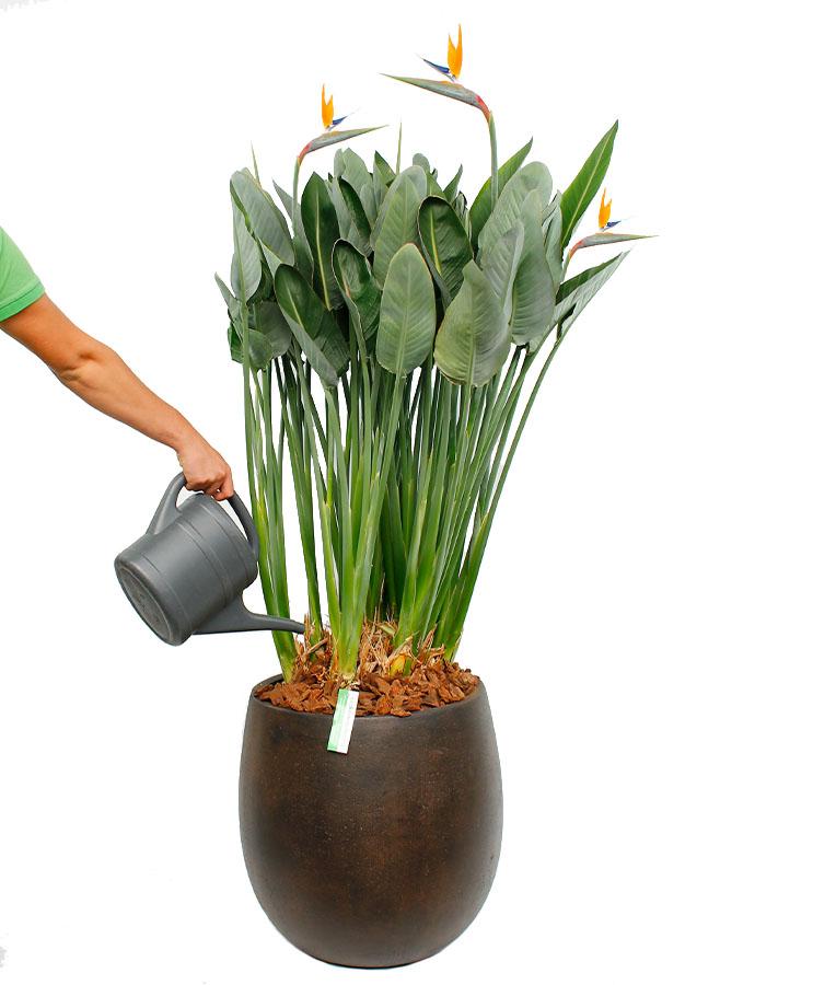 Prächtig Strelitzie (Paradiesvogelblume) Pflege - 123zimmerpflanzen @YW_93