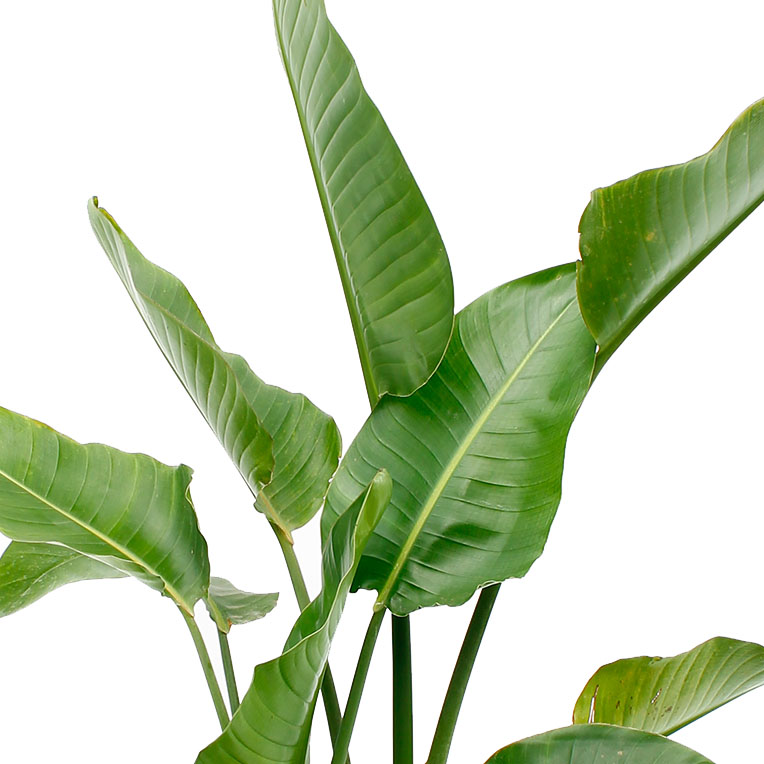 Strelitzie paradiesvogelblume pflege - Bambus pflege zimmerpflanze ...