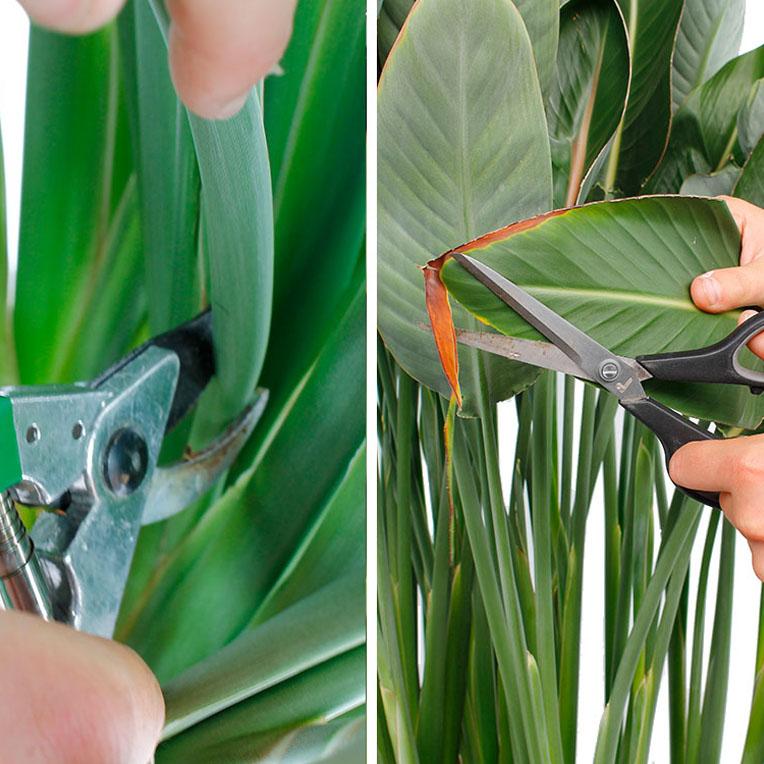Prächtig Strelitzie (Paradiesvogelblume) Pflege - 123zimmerpflanzen &YM_94
