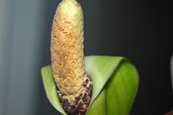 Blühende Zamioculcas